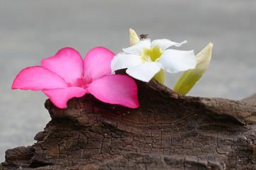 fly on plumeria flower on old tree stump