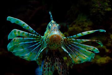 Common  Lionfish or Devil firefish (Pterois miles) in aquarium