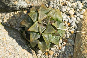 Haworthia retusa, Liliaceae, Southern Africa (Cape)