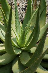 Aloe hereroensis, Liliaceae, South Africa