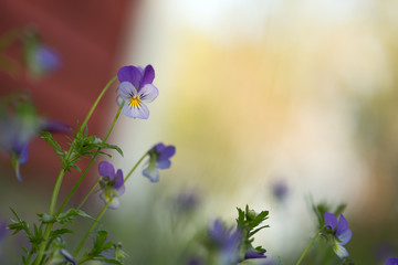 Heartsease, Viola tricolor, with shallow depth of field