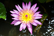 Colorful Lotus Flower