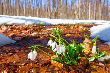 white snowdrops in a spring forest