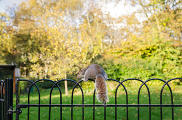 London, squirrel in St James Park