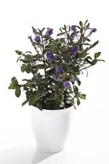 Hebe Pflanze in der Blüte, Blüten, Blumen