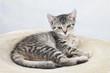 Hauskatze,Katze liegend auf Decke