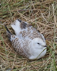 A young Silver gull (larus novaehollandiae) on Philip island