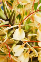 Ingwerlilie (Hedychium spicatum), Ingwergewächs, duftende Blüten