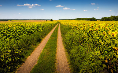 Summer landscape with a field of sunflowers