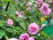 Obrazy na płótnie, fototapety, zdjęcia, fotoobrazy drukowane : Pink Roses in the Garden