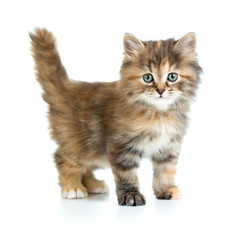 little funny cat isolated on white