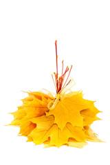 Autumn yellow maple leaf on white background.