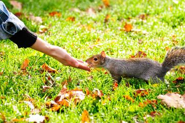 Feeding grey squirrel