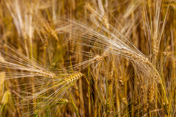 Wheat ears in the field as background.