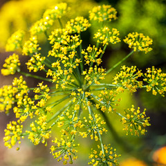 Dill inflorescence on a green background.
