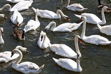 Mute swans on the river Avon © Arena Photo UK