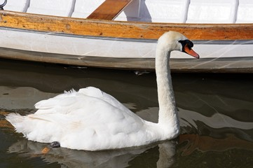 Mute swan by rowing boat © Arena Photo UK