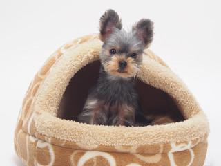ペットベッドから顔を出すヨークシャテリアの子犬