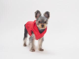 赤いベストを着たヨークシャテリア