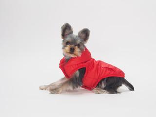 赤いベストを着たヨークシャテリアの子犬
