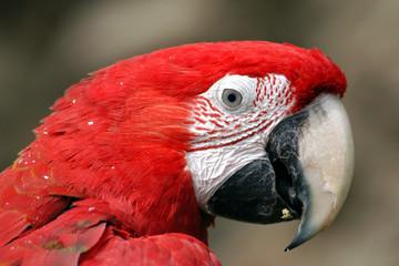 Green-winged macaw (Ara chloropterus).