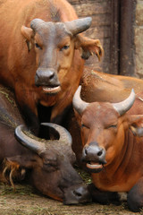 African forest buffaloes (Syncerus caffer nanus).