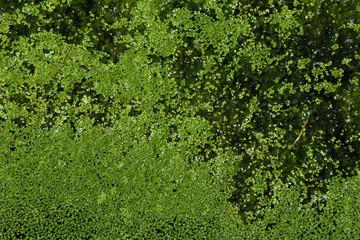 Common duckweed (Lemna minor). Full frame texture. .