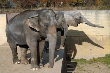 African elephant and Indian elephants.