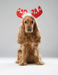 dog breed English spaniel with Christmas antlers