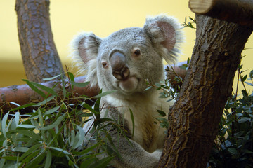 Koala (Phascolarctos cinereus) eating eucalyptus leaves..