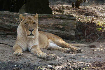 African lioness (Panthera leo). .