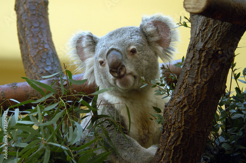 Staande foto Koala Koala (Phascolarctos cinereus) eating eucalyptus leaves..