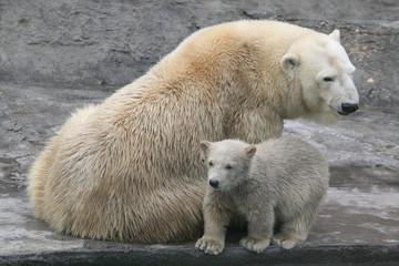 Polar bear cub (Ursus maritimus) with its mum.