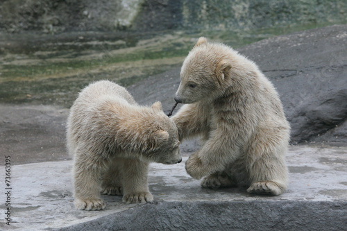 In de dag Ijsbeer Two polar bear cubs (Ursus maritimus).