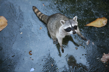 Common raccoon (Procyon lotor).
