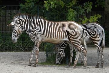 Grevy's zebras (Equus grevyi).