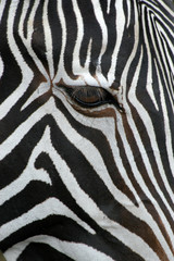 Grevy's zebra (Equus grevyi), also known as the imperial zebra..