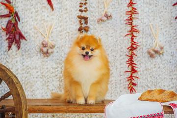 Spitz dog and autumn harvest essentials