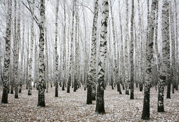 Winter birches in autumn