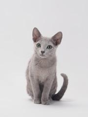 お座りするロシアンブルーの子猫