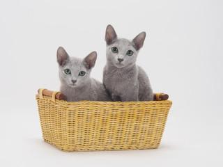 カゴに入った二匹のロシアンブルーの子猫