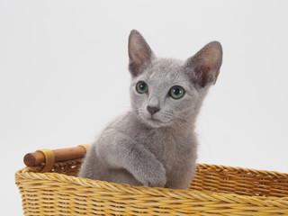 カゴに入ったロシアンブルーの子猫