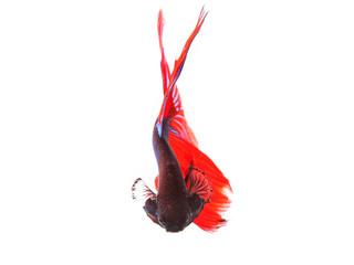 close up of beautiful red tail thai siamese fighting fish betta