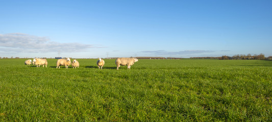 Sheep in a sunny meadow at fall