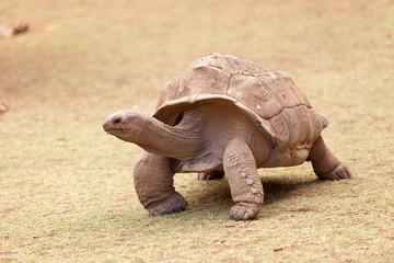 tortue géante d'Aldabra, anse Quitor, Rodrigues