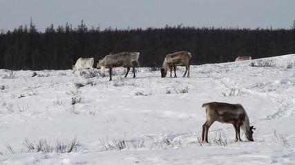 Reindeer group on pastures