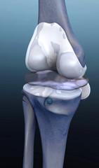 human bone, knee