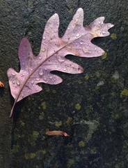 oak leaf after rain