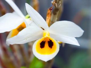 Dendrobium bensoniae, Orchidaceae, Cambodia, Thailand, Myanmar