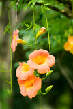 Orange big flower, Campsis grandiflora, Bignoniaceae
